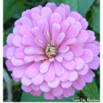 Z is for Zinnia ABCs of Nature