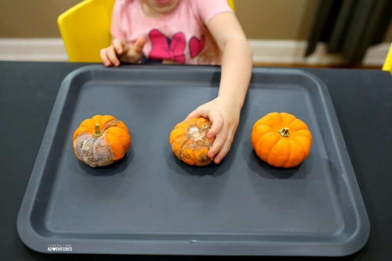 Pumpkin Science with Preschoolers