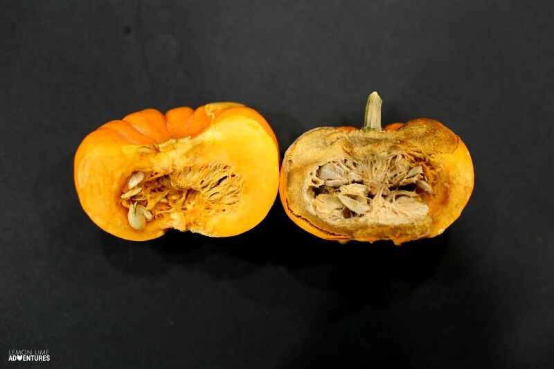 Rotting Pumpkin Science with Kids